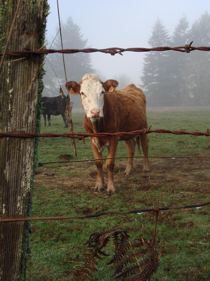 Barb wire and cattle photograph by alyssa st clair