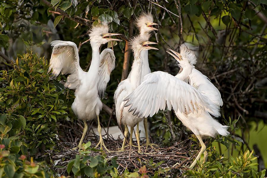 Little Blue Heron Chicks Photograph - Barbershop Quartet by Bonnie Barry