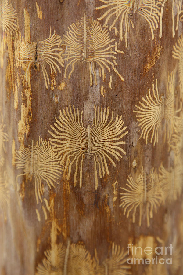 Bark Beetle Galleries Photograph  - Bark Beetle Galleries Fine Art Print