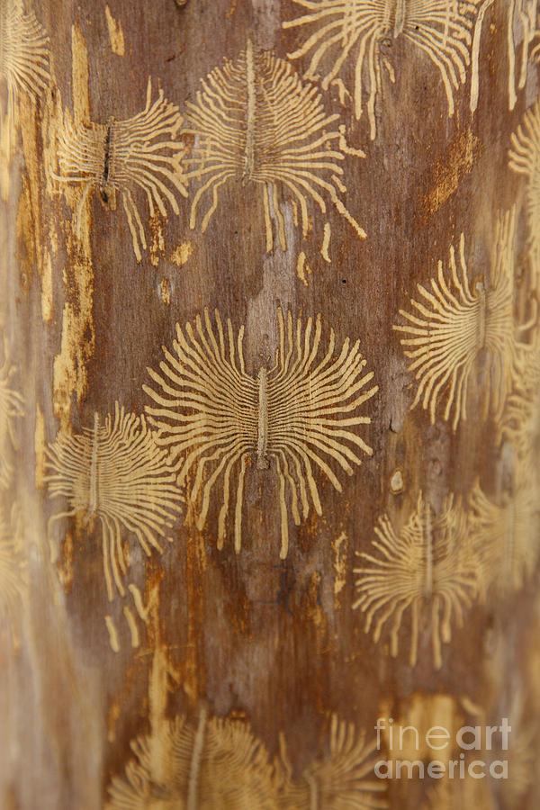 Bark Beetle Galleries Photograph