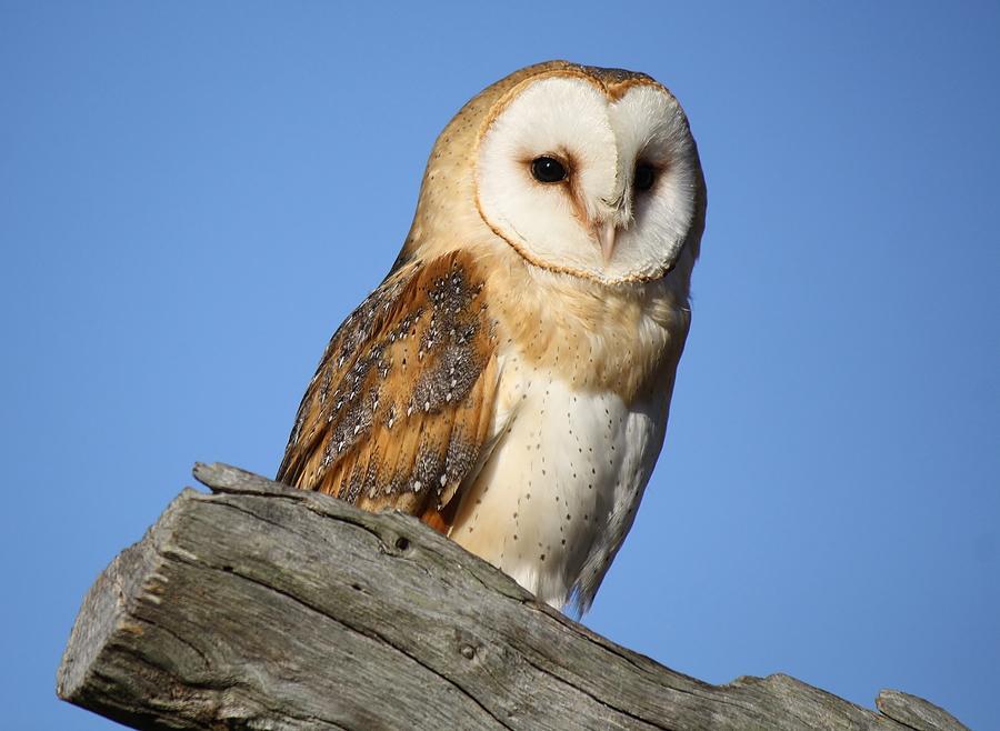 Owl Photograph - Barn Owl by Paulette Thomas
