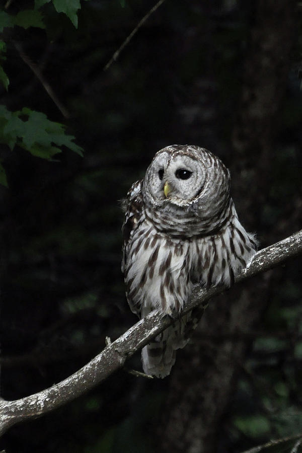 Barred Owl 2 Photograph  - Barred Owl 2 Fine Art Print