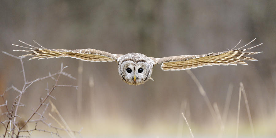 Barred Owl In Flight Photograph  - Barred Owl In Flight Fine Art Print