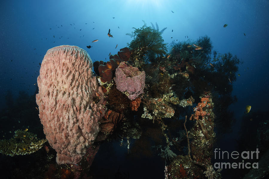 Barrel Sponge On Liberty Wreck, Bali Photograph