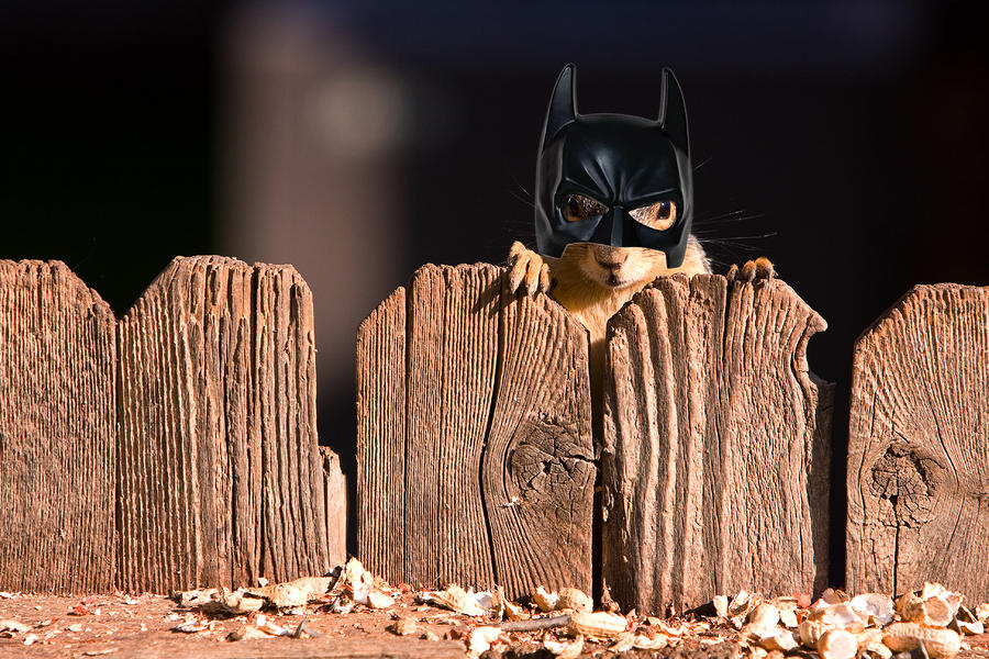 Bat Squirrel  The Cape Crusader Known For Putting Away Nuts.  Photograph  - Bat Squirrel  The Cape Crusader Known For Putting Away Nuts.  Fine Art Print