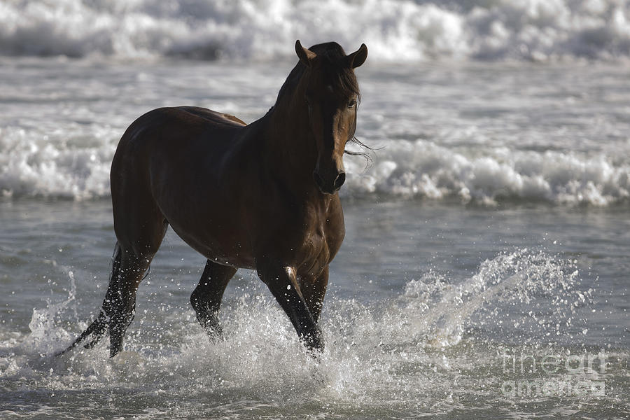 Bay Andalusian Stallion In The Surf Photograph