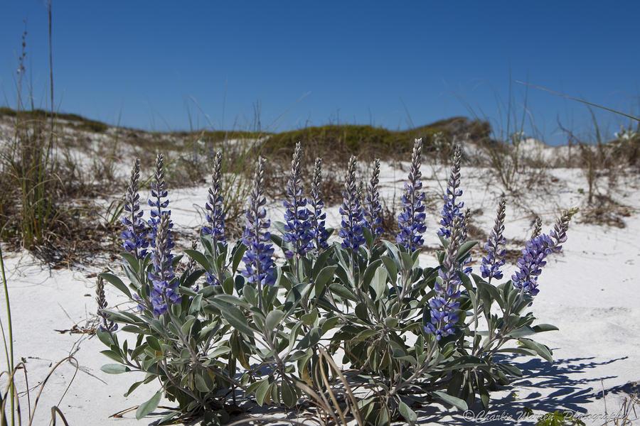 Beach Flora Photograph