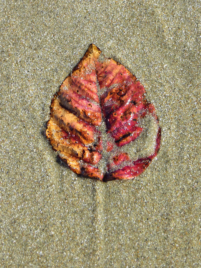 Beach Leaf Photograph