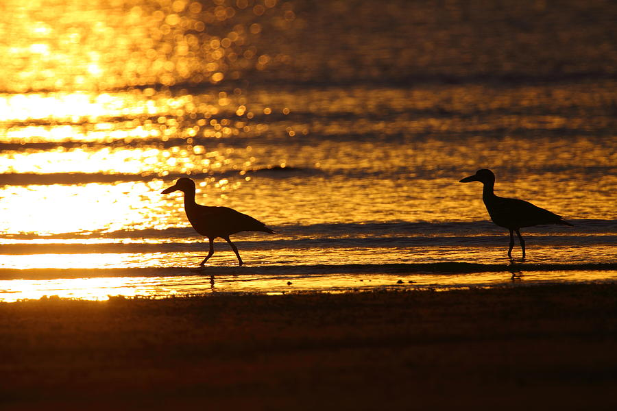 Beach Stone-curlews At Sunset Photograph