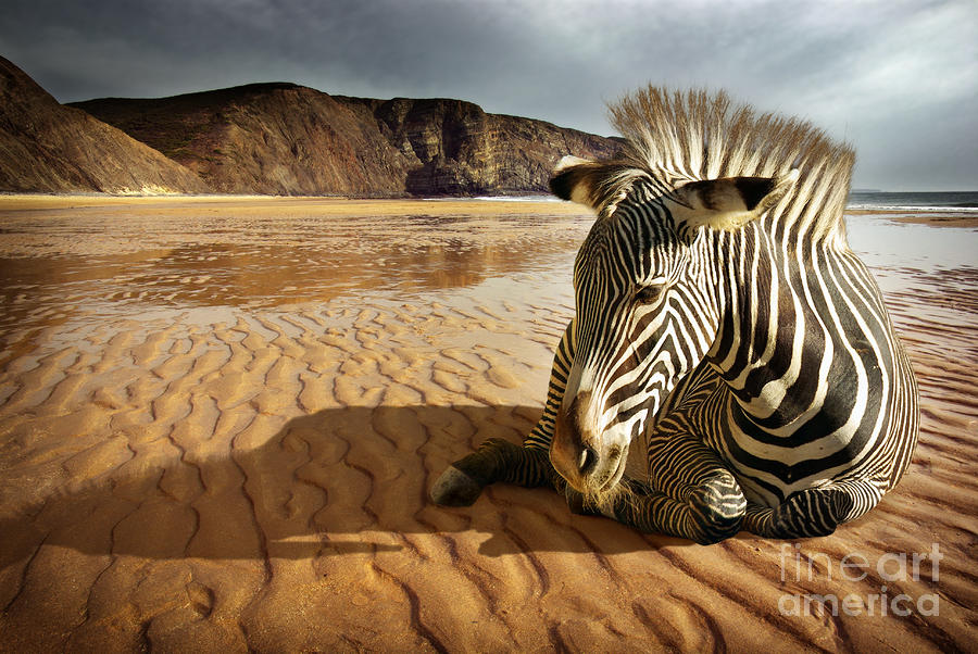 Beach Zebra Photograph  - Beach Zebra Fine Art Print