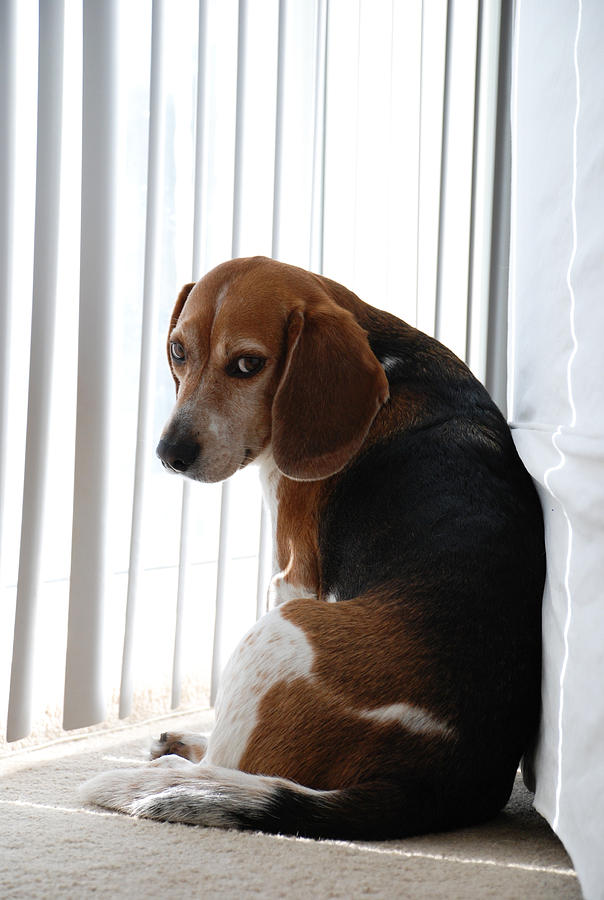 Beagle Attitude Photograph