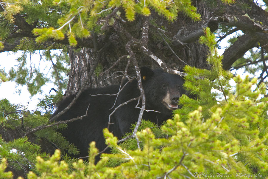 Bear In A Tree Photograph  - Bear In A Tree Fine Art Print