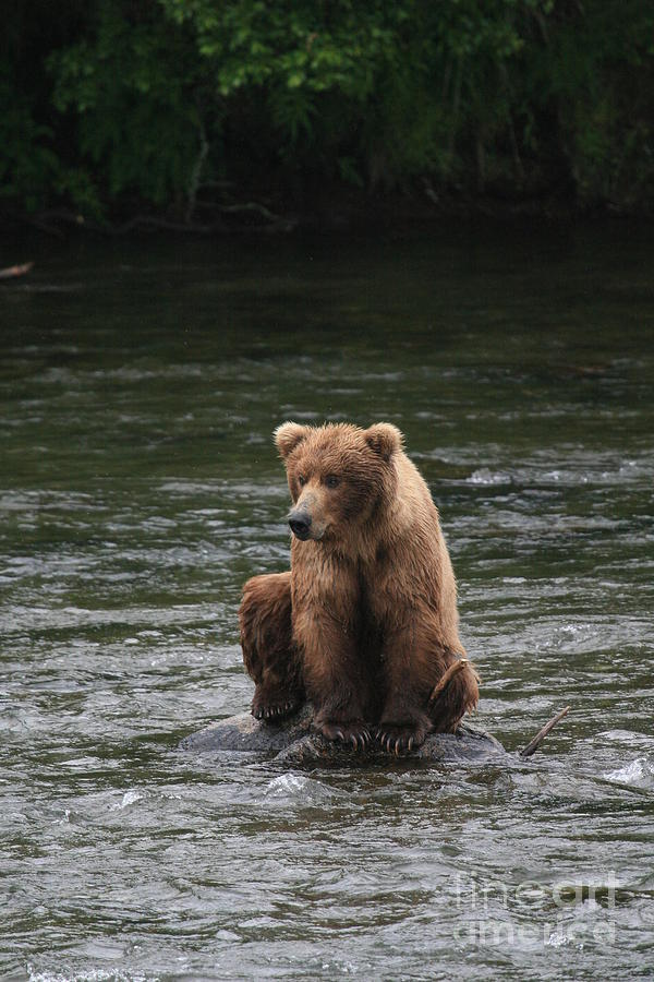 Bear Sitting On Water Photograph  - Bear Sitting On Water Fine Art Print
