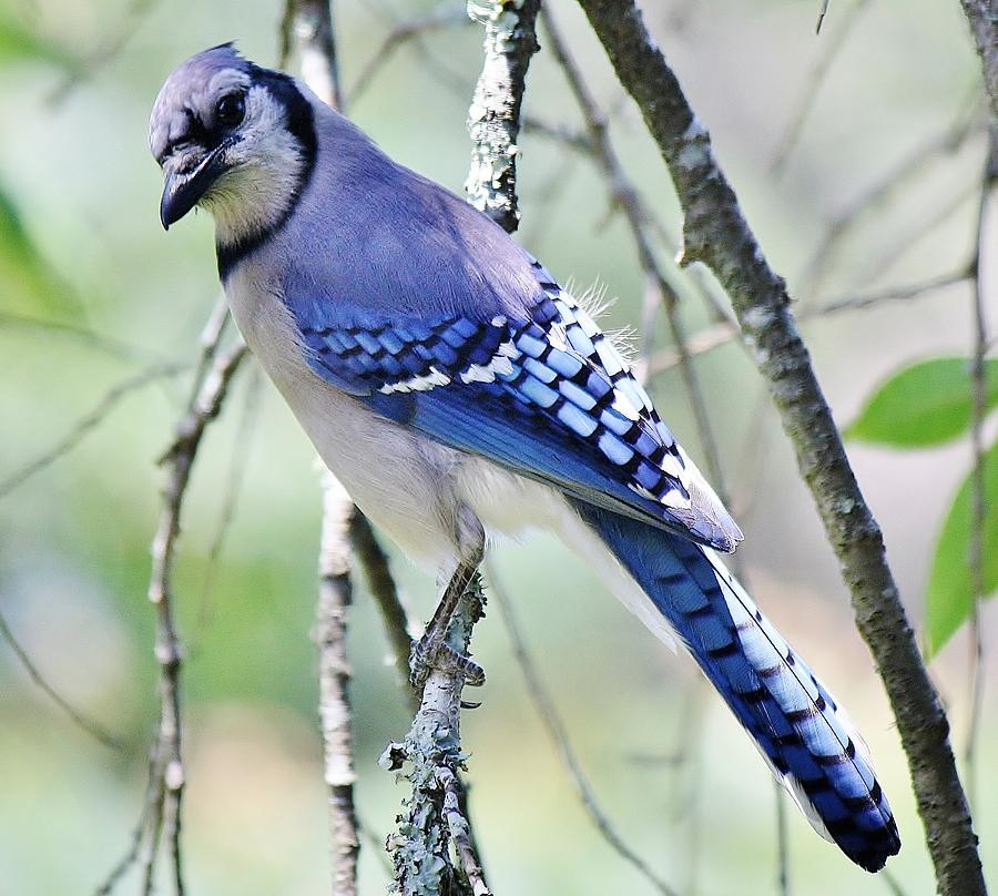 Beautiful Blue Jay Photograph  - Beautiful Blue Jay Fine Art Print