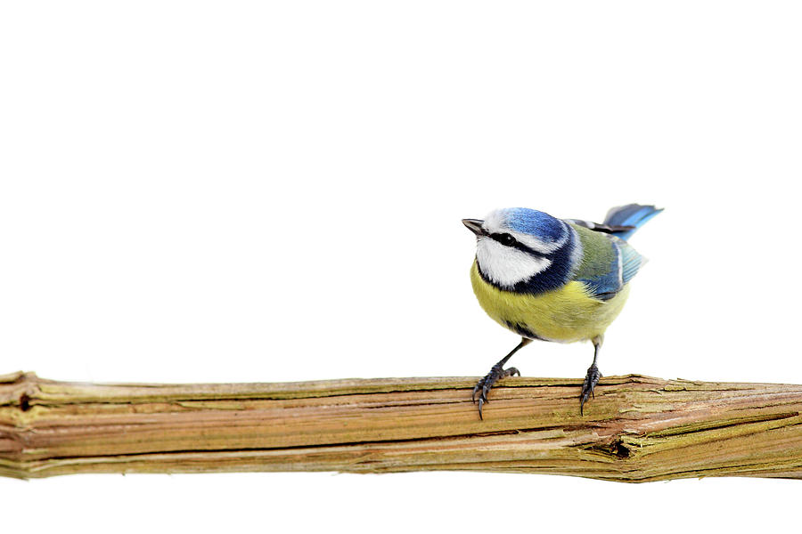 Beautiful Blue Tit Photograph