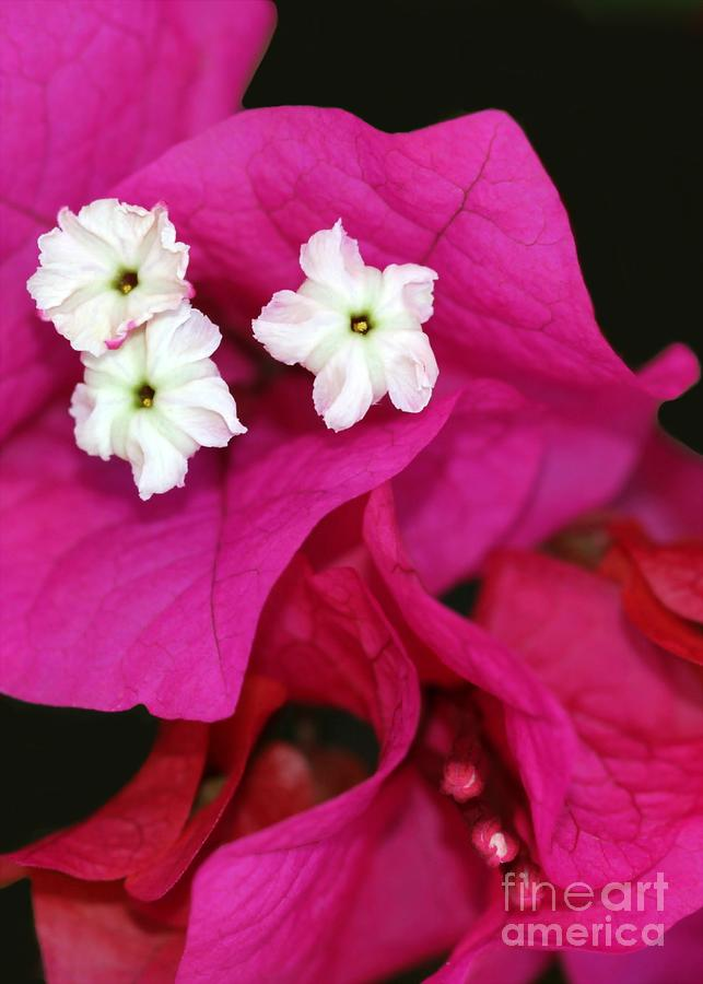 Beautiful Bouganvillea Photograph