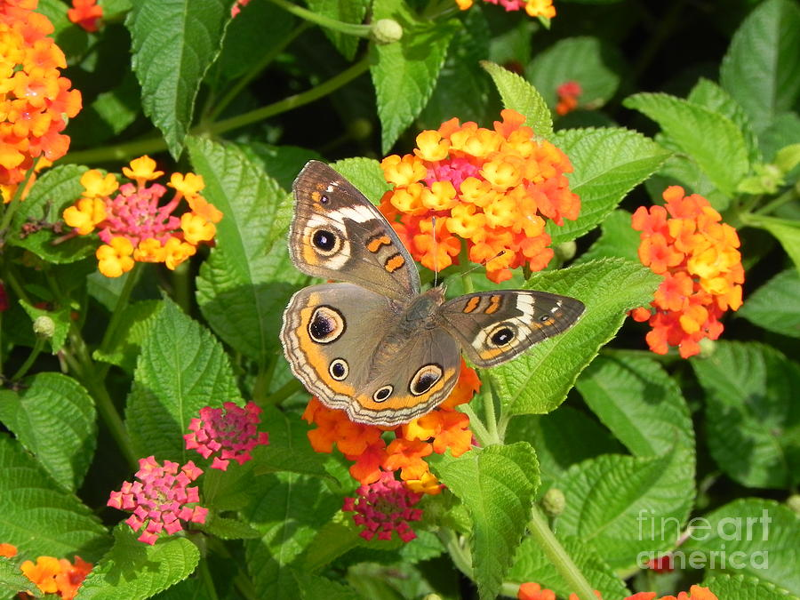 Common Buckeye Photograph - Beautiful Butterfly by Sandy Owens