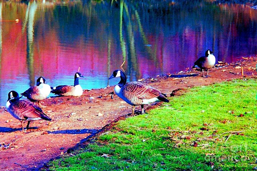 Beautiful Canadian Geese  Photograph