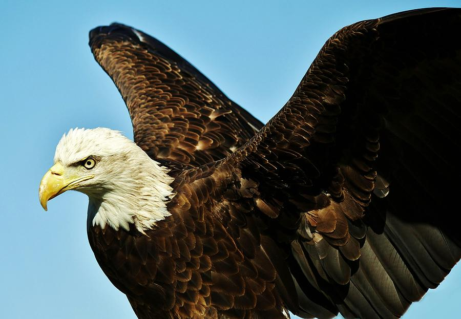 Beautiful Eagle Photograph  - Beautiful Eagle Fine Art Print