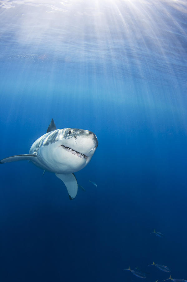 Beautiful Great White Photograph  - Beautiful Great White Fine Art Print