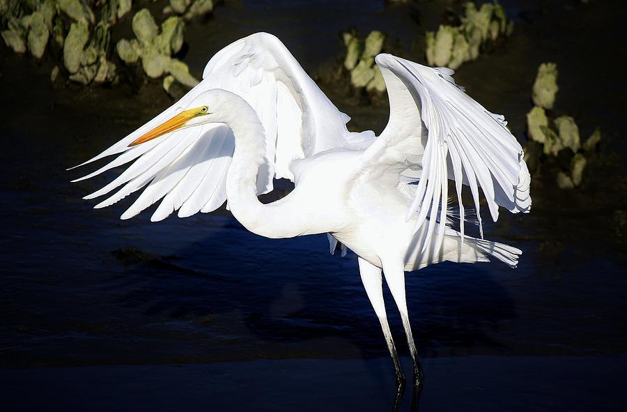 Beautiful Great White Egret Photograph