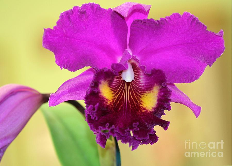 Beautiful Hot Pink Orchid Photograph