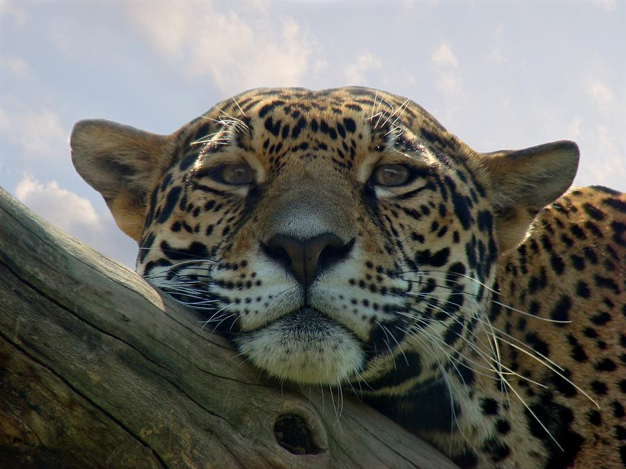 Beautiful Jaguar Photograph