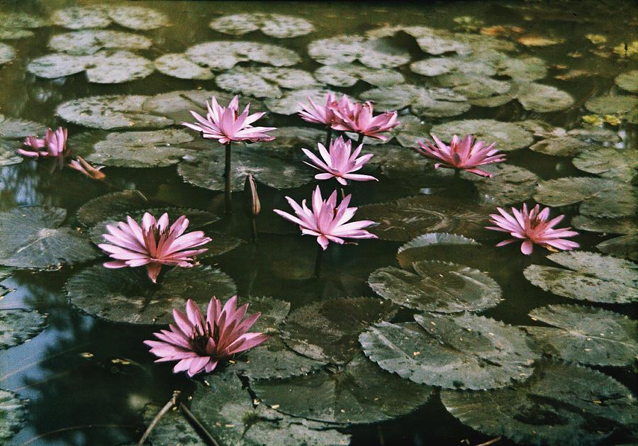 Beautiful Pink Lotus Water Lilies Bloom Photograph