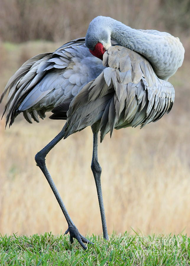 Beautiful Preening Sandhill Crane Photograph  - Beautiful Preening Sandhill Crane Fine Art Print