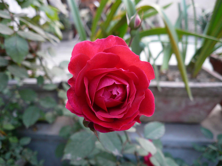 Beautiful Red Rose In A Small Garden Photograph  - Beautiful Red Rose In A Small Garden Fine Art Print