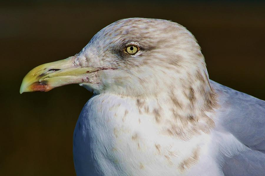 Beautiful Sea Gull Photograph