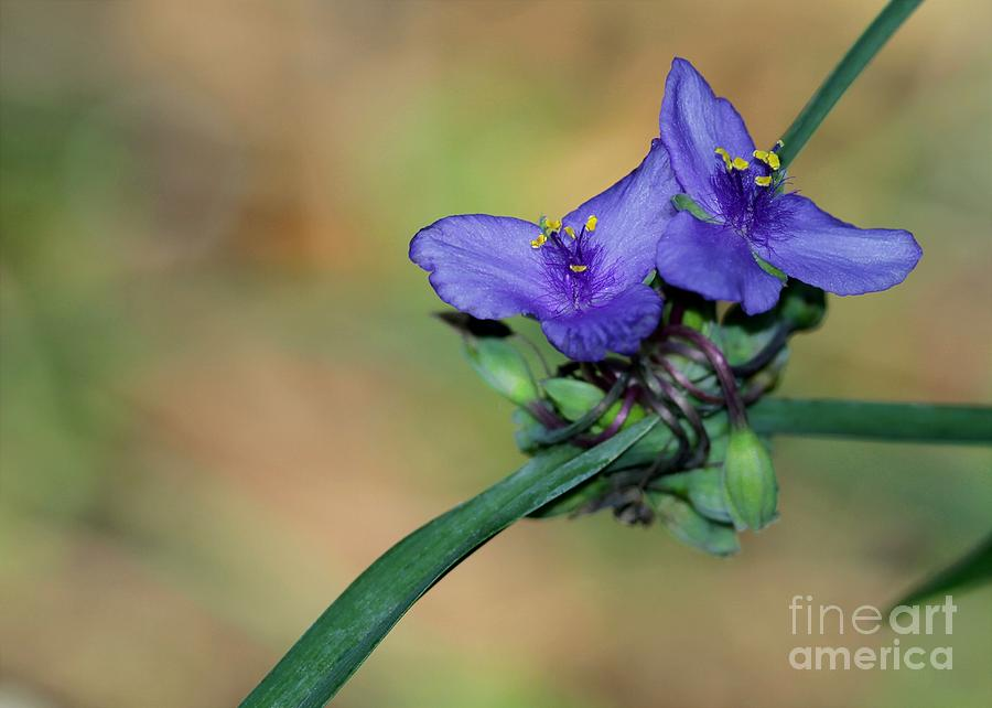 Beautiful Spiderwort Photograph