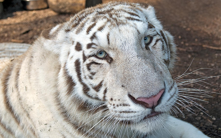 Beautiful White Tiger by Kenneth Albin