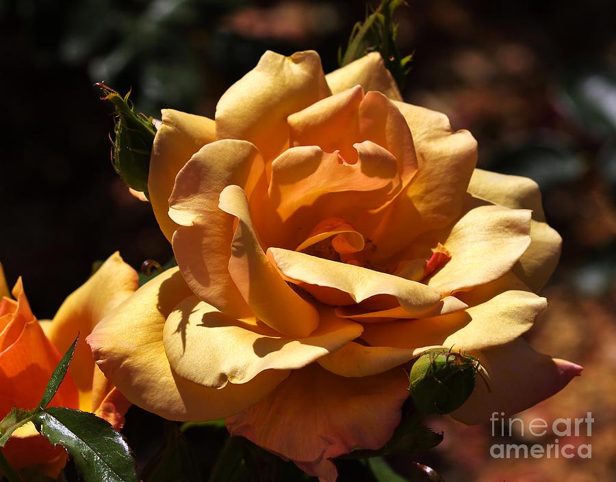Beautiful Yellow Rose Belle Epoque Photograph