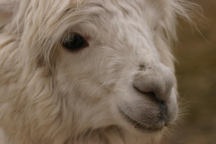 Beauty-full Alpaca Soul Photograph