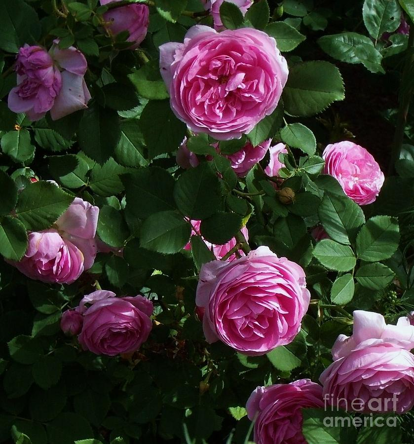 Pink Roses Photograph - Beauty In Pink by Donna Parlow