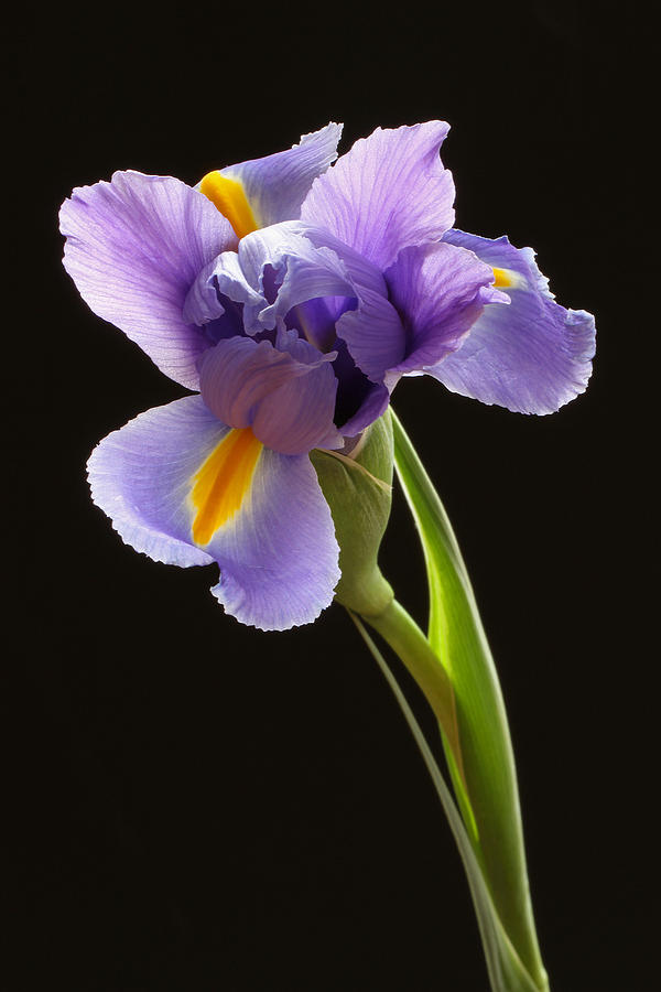 Iris Photograph - Beauty To Unfold by Juergen Roth
