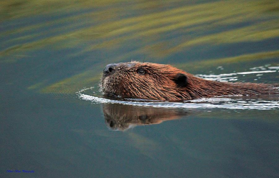 Beaver Photograph - Beaver 3 by Ed Nicholles