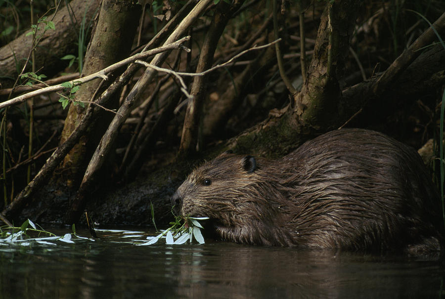 Beaver Building A Dam, Ozark Mountains Photograph