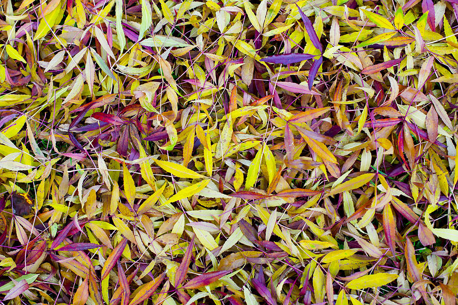 Bed Of Willow Leaves Photograph
