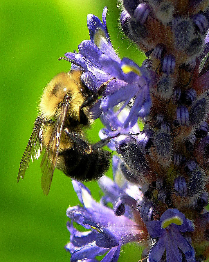Bee Photograph - Bee All You Can Bee by John Kiss
