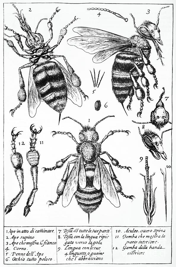 Bee Anatomy Historical Illustration Photograph  - Bee Anatomy Historical Illustration Fine Art Print