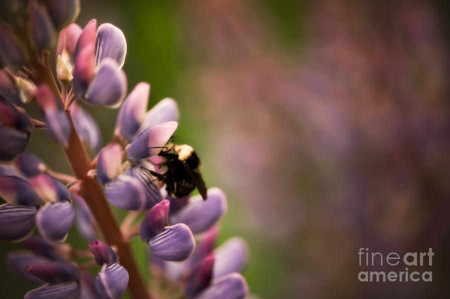Bee And Lupine Photograph