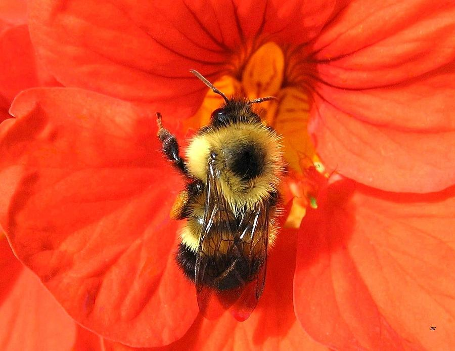 Bee And Nasturtium Photograph  - Bee And Nasturtium Fine Art Print