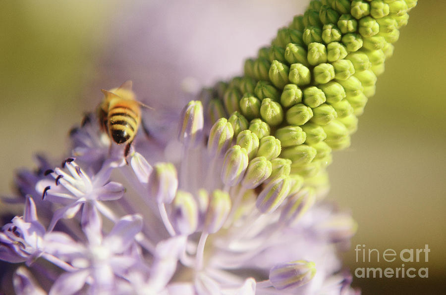 Bee Collects Nectar 2 Photograph  - Bee Collects Nectar 2 Fine Art Print