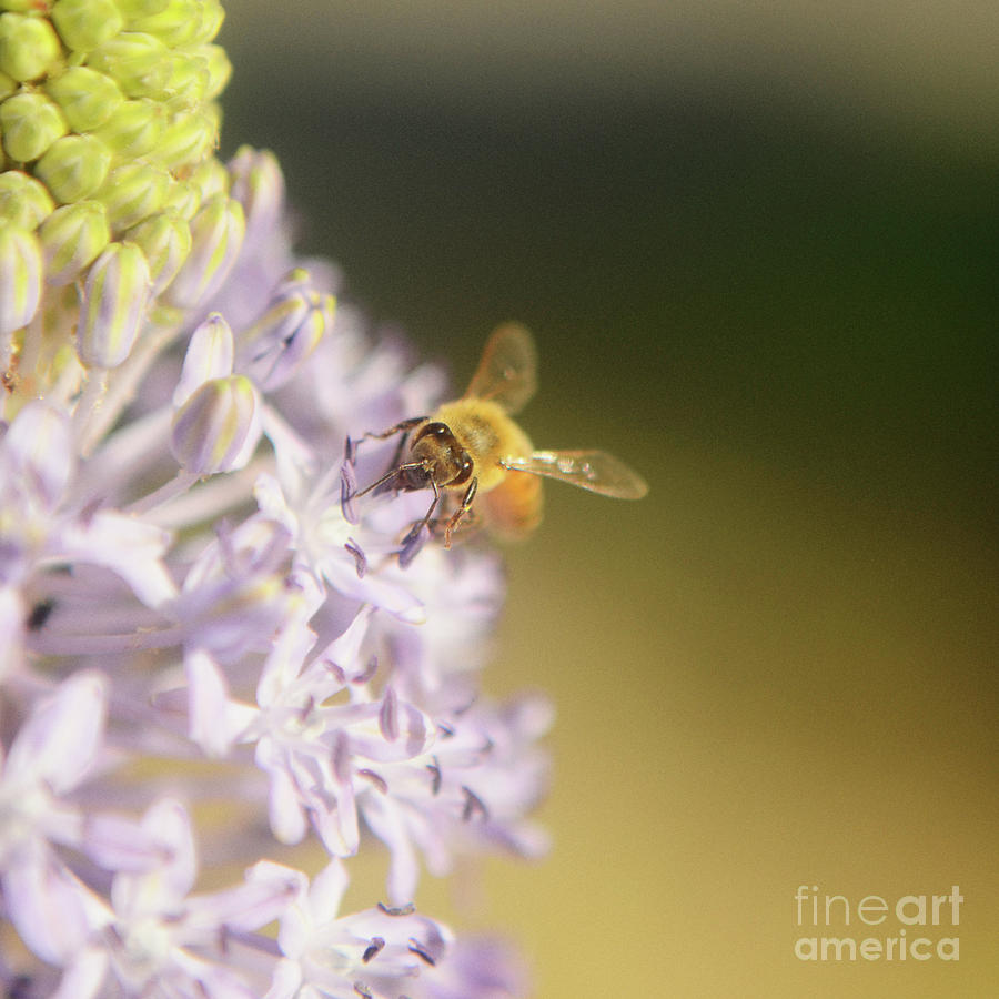 Bee Collects Nectar 4 Photograph  - Bee Collects Nectar 4 Fine Art Print