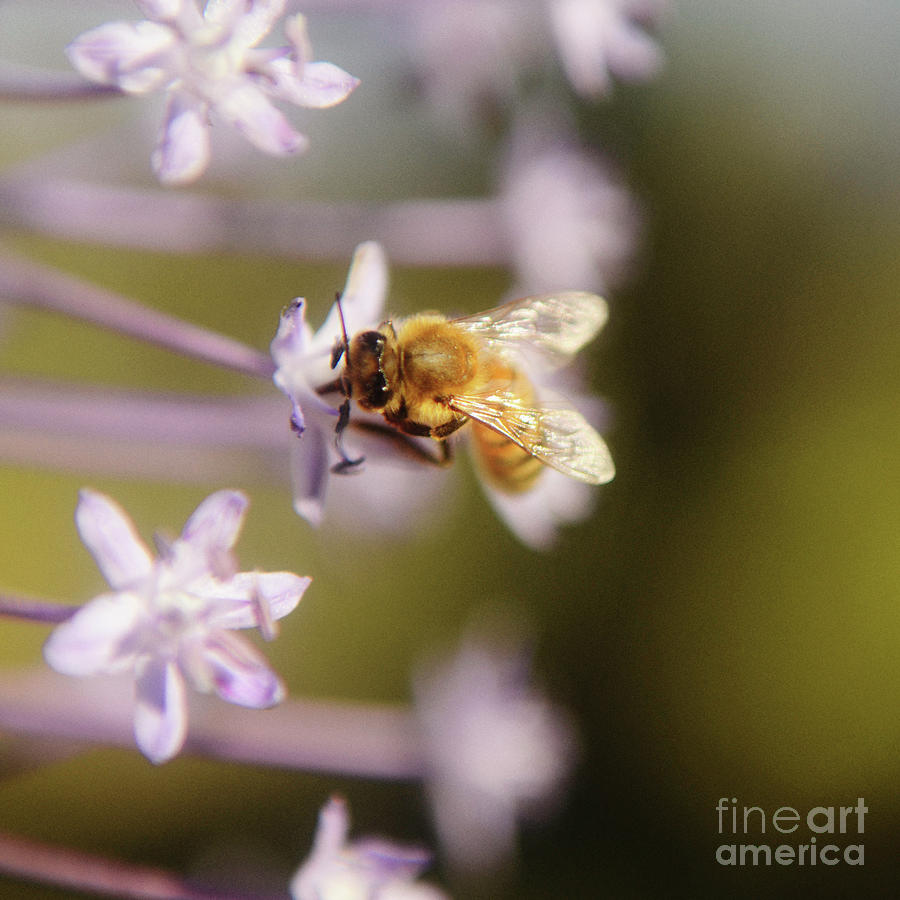 Bee Collects Nectar 6 Photograph