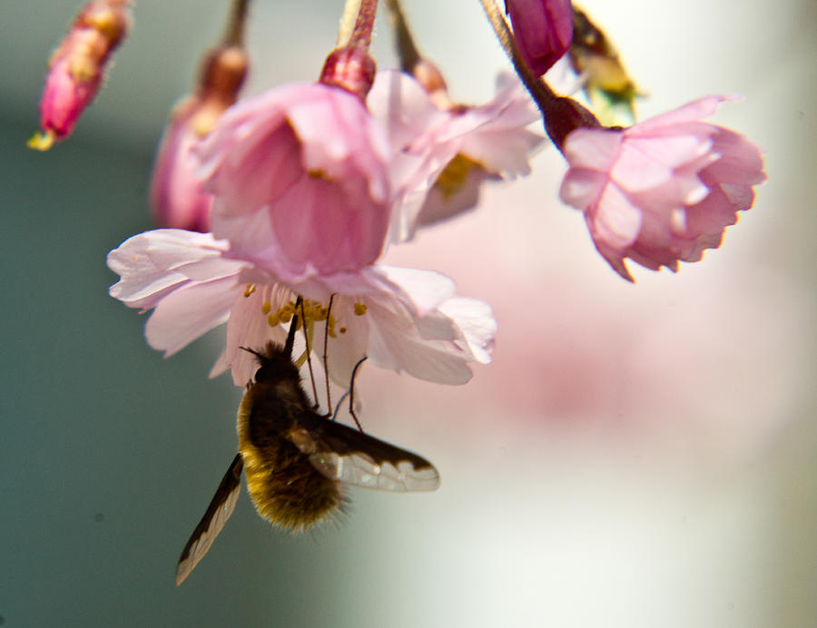 Bee Fly Feeding 2 Photograph  - Bee Fly Feeding 2 Fine Art Print