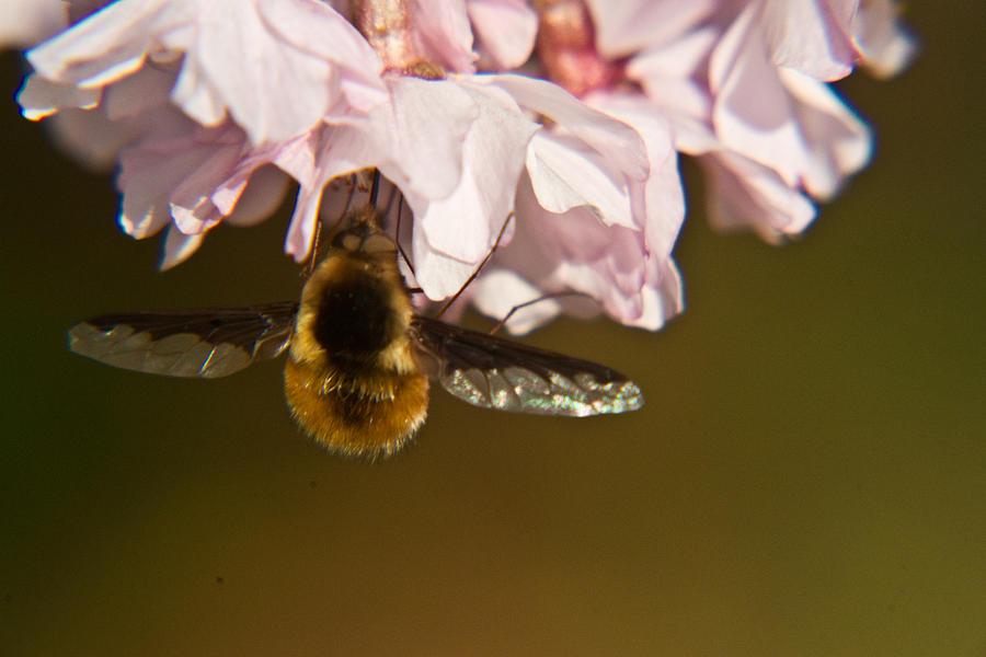 Bombyliidae Photograph - Bee Fly Feeding 5 by Douglas Barnett
