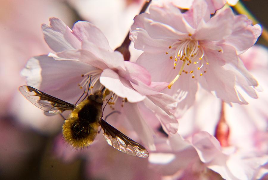 Bombyliidae Photograph - Bee Fly Feeding 6 by Douglas Barnett